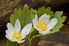 FBR-9004: Dew covered Bloodroot (Sanguinaria canadensis)