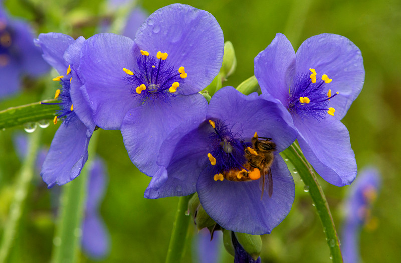 Spiderwort with a visitor