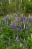 FLWR-11068: Lupine grouping (Lupinus polyphyllus)