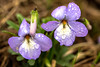 FLWR-13-15: Bird's-Foot Violets and bud