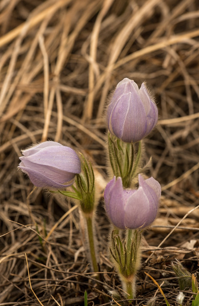Pasque Flowers trio