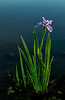 Blue flag Iris at sunset