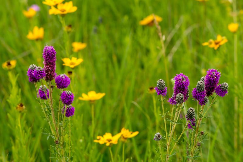 Purple Prairie Clover and Prairie Coreopsis