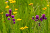 Purple Prairie Clover and Prairie Coreopsis