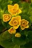 FLWR-10029: Marsh Marigolds