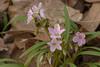 Woodland Spring  Beauties