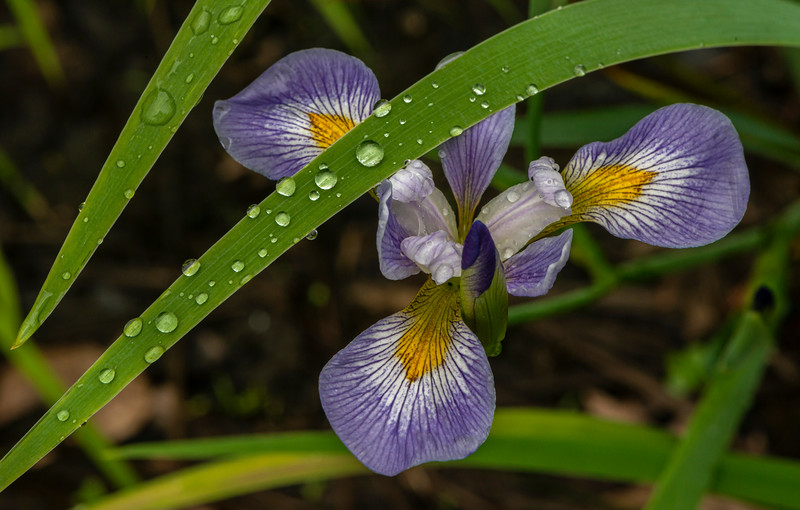 Blue Flag Iris after the rain