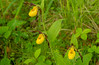 Small Yellow Lady's-slippers