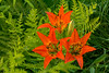 Wood Lily's and bud