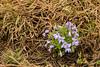 FLWR-13-7: Bird's-foot violet cluster