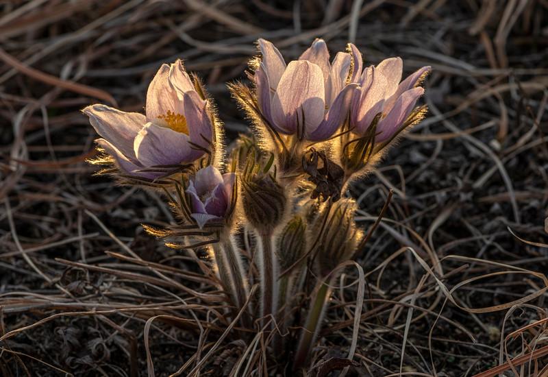 Pasque Flowers backlit