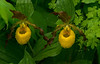 Large Yellow Lady's-slipper pair