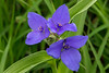 Spiderwort trio