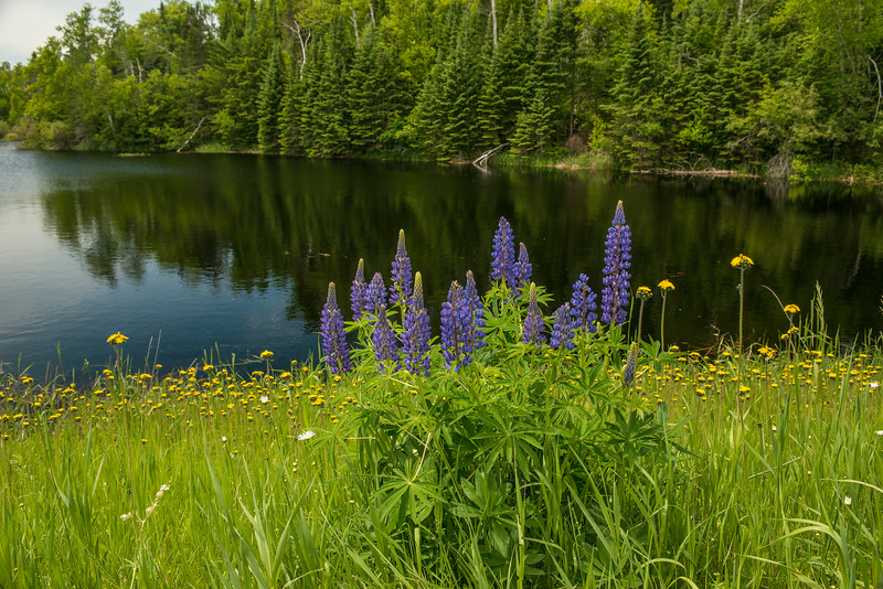 Lupine in Northern Minnesota