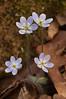 FLWR-10036: Round-lobed Hepaticas (Hepatica americana)