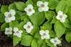 NWB-13-45: Bunchberry Blossoms