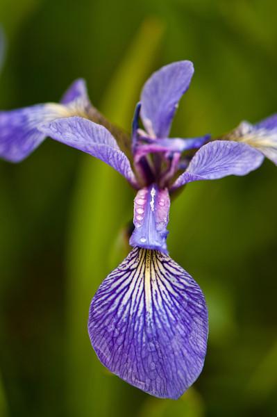 FLWR-11094: Blue Flag (Iris versicolor)