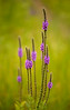 Hoary Vervain prairie flowers