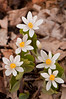 FLWR-11033: Bloodroot grouping (Sanguinaria canadensis)