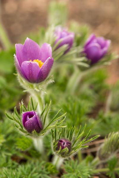 April Pasque Flowers