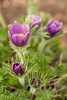 April Pasque Flowers
