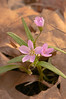 FLWR-11042: Early morning light on Spring Beauty (Claytonia virginica)