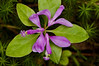"FLWR-12020: Fringed Polygala (common name ""Bird on the wing""-Polygala paucifolia)"