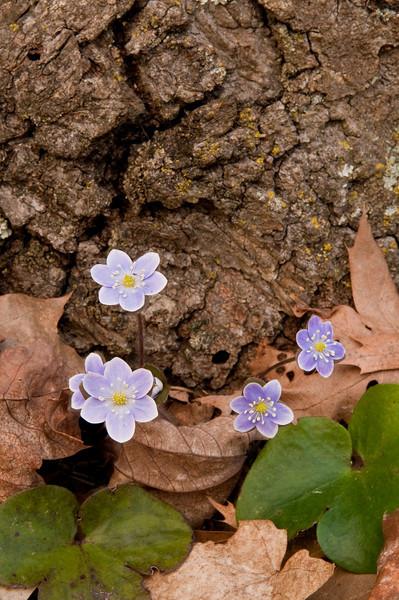 FLWR_10042: Hepatica cluster (Hepatica americana)