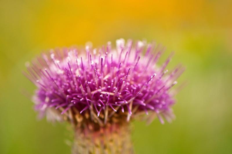 FLWR-11122: Hill's Thistle close-up (Carduus pumilum)