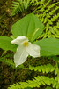 Large-flowered Trillium and fern