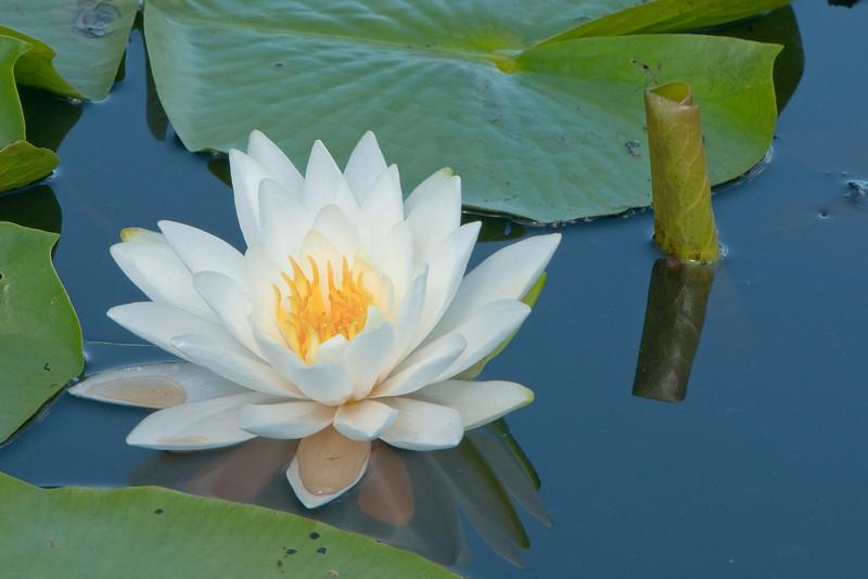 FLWR-10061: White water lily at Phantom Lake (Nymphaea tuberosa)