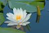 FLWR-10061: White water lily at Phantom Lake (Nymphaea tuberosa)