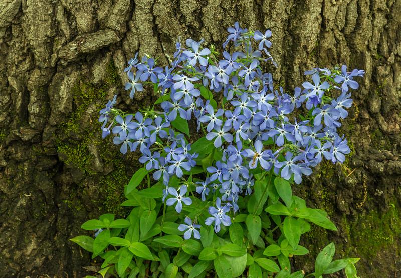 Blue Phlox and Maple tree