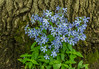 Blue Phlox and Maple tree