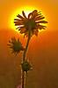 FLWR-10072: Backlit Compass Plant (Silphium laciniatum)