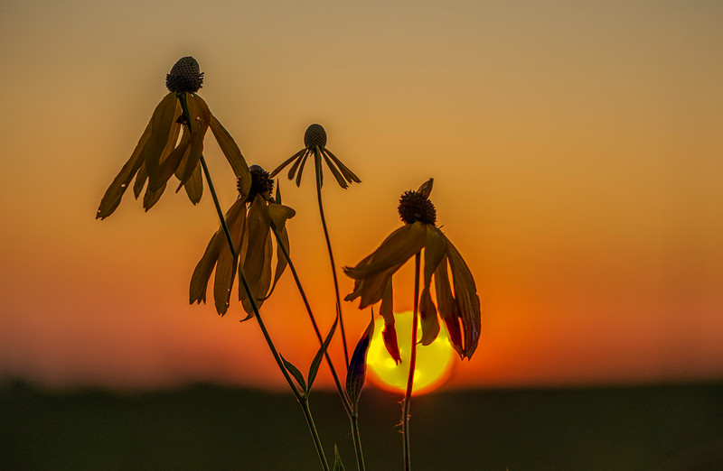 Gray-headed Coneflowers at sunrise