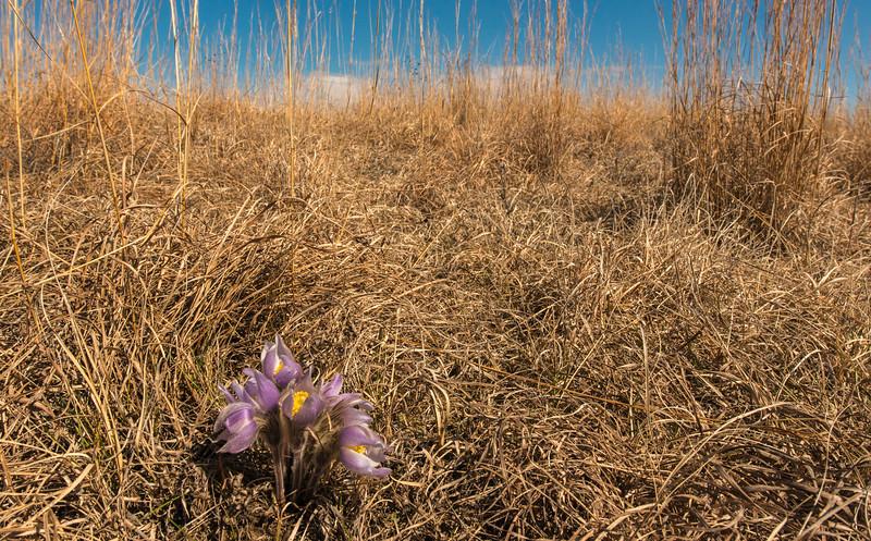 Pasque flower environmental