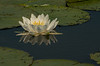 FLWR-13-128: White Water Lily and reflection