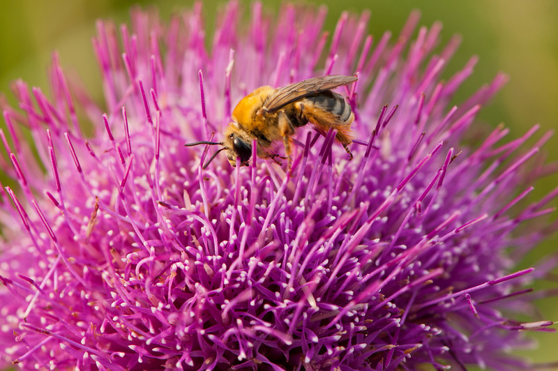 FLWR-11125: Hill's Thistle with Honey Bee (Carduus pumilum)