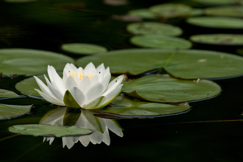 FLWR-10059: White Water Lily