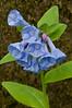 8025-Virginia Bluebells (Mertensia virginica)