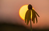 Sunrise and Gray-headed Coneflower