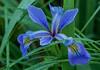 Blue Flag Iris in misty rain