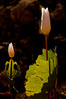 FLWR-10005: Morning light on Bloodroot pair (Sanguinaria canadensis)