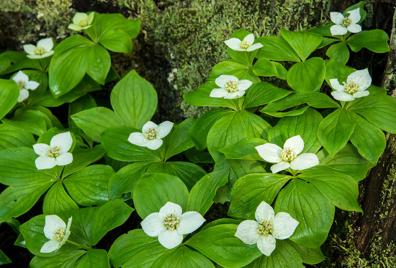 FLWR-13-86: Bunchberry Blossoms