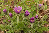 Pasque Flower grouping