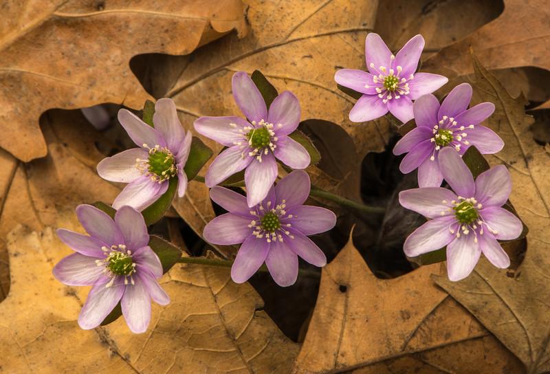 Sharp-lobed Hepatica cluster