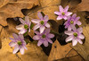 Sharp-lobed Hepatica cluster