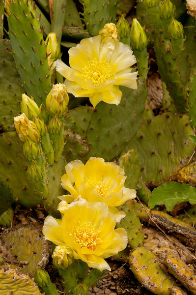 FLWR-11109: Prickly Pear Cactus flowers (Opuntia humifusa)