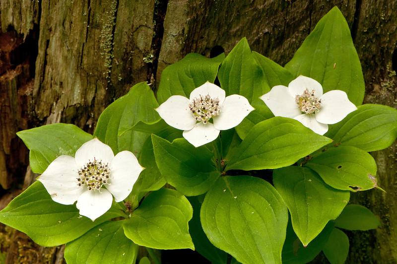 FLWR-11079: Bunchberry Blossoms (Cornus canadensis)